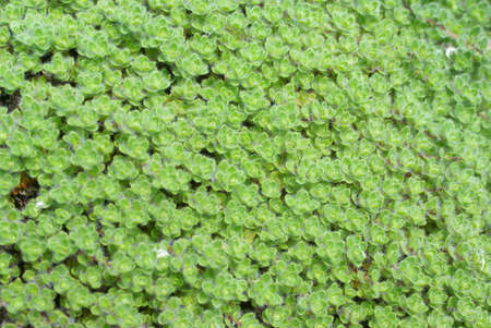 groundcover: Detail, wooly thyme groundcover,   Seattle, Pacific Northwest