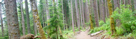 Panorama - Douglas fir in forest,Tiger Mountain,Pacific Northwest