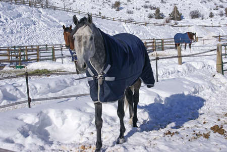 blanket horse: Grey horse with blue blanket on snowy winter morning,Cordillera,Colorado