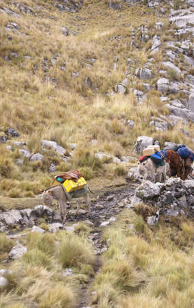 mule train: Mule train, carrying loads in high mountains of  Cordillera Huayhuash, Andes,  Peru, South America