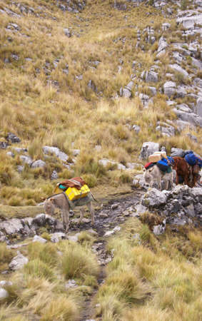 Mule train, carrying loads in high mountains of Cordillera Huayhuash,Andes, Peru, South America