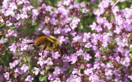 Honeybee gathering pollen from spring thyme flowers,Seattle, Pacific Northwest