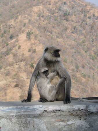 gray langur: Black faced langur monkey mother and child, near  Ranakapur, India