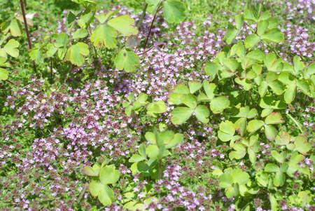 Detail, flowering thyme, late spring,   Seattle, Pacific Northwest  Zdjęcie Seryjne
