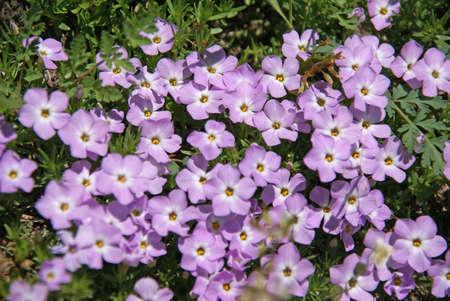 Flores silvestres de montaña - Phlox, [Phlox difusa] Snoqualmie Pass, North Cascades, Washington Foto de archivo - 12144497