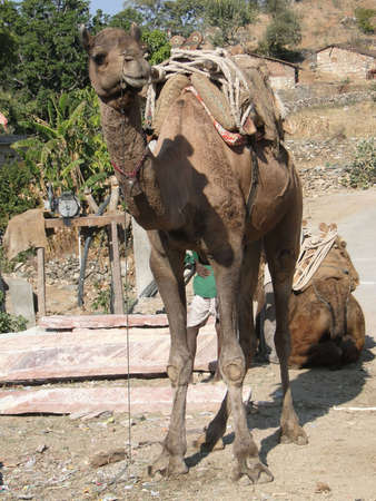 saddle camel: Camel patiently waits for its next load in  Ranakapur, India