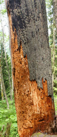 scarred: Huge cedar stump, scarred by forest fire,  Tiger Mountain, Pacific Northwest  Stock Photo