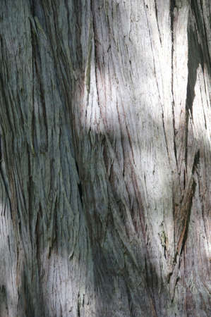 distinctive: Distinctive bark of a huge trunk  of a Western Red Cedar  in the Grove of the Patriachs,  Stock Photo