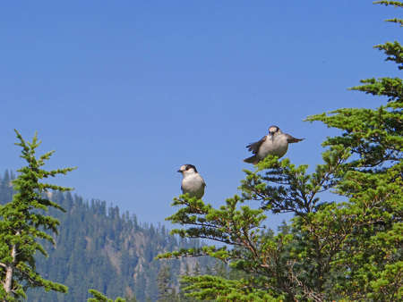 canadensis: Gray Jay (Perisoreus canadensis)  perched in a fir tree mear Snoqualmie Pass, Washington
