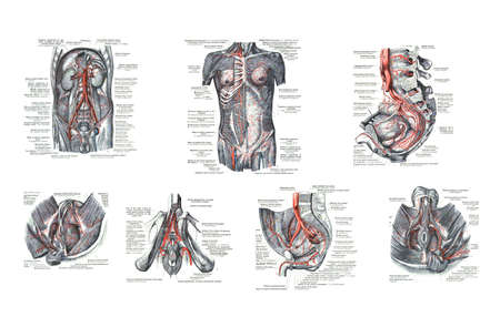 7 views of male human sexual organs  from  An atlas of human anatomy: Carl Toldt - 1904