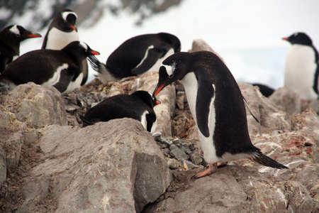 Gentoo penguin rookery, group, nesting on rocks, [Pygoscelis papua]Neko Harbor, Andvord Bay,Antarctica