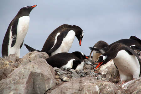 Gentoo penguins, nesting and bickering [Pygoscelis papua] Cuverville Island, Antarctica
