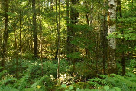 undergrowth: Green ferns and undergrowth  in the shadows of a dark conifer forest  in Mount Rainier National Park