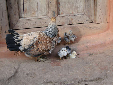 Hen and her chicks in a small tribal village, Orissa, India