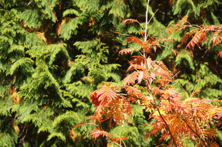 Red autumn berries on mountain ash in the Seattle Arboretum