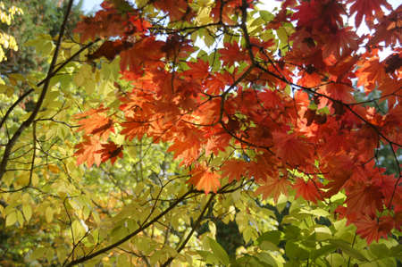 acer: Detail, red and orange maple leaves in early autumn