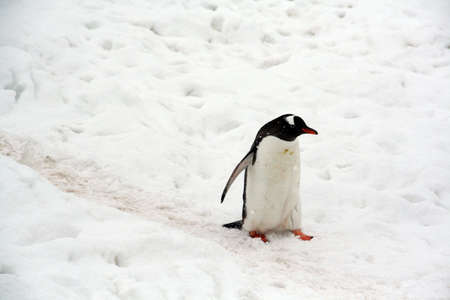 Gentoo penguin, light snow storm, (Pygoscelis papua) Cuverville Island,Antarctica     Stock Photo