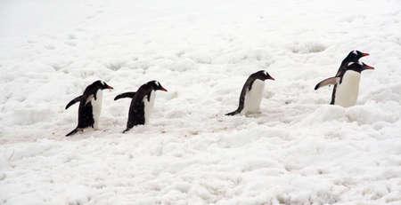 Gentoo penguins, heading back to their nests,  Pygoscelis papua  Cuverville Island,Antarctica