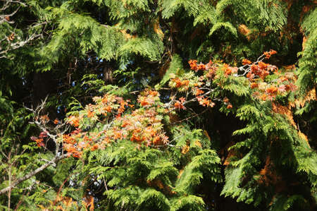 Red autumn berries on mountain ash in the Seattle Arboretum Stock Photo - 15929638