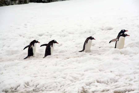 Gentoo penguins, heading back to their nests, (Pygoscelis papua) Cuverville Island,Antarctica