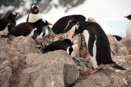 Gentoo penguin rookery, nesting on rocks,  (Pygoscelis papua) Neko Harbor, Andvord Bay,Antarctica   Stock Photo