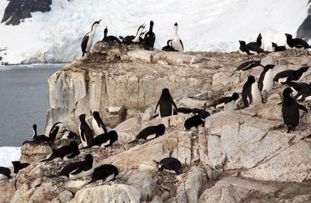Cormorants co habiting with gentoo penguins, nesting on cliffs. ( Blue-eyed Shag - Phalacrocorax atriceps)   (Pygoscelis papua) ,Petermann Island,Antarctica   Stock Photo