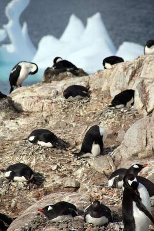phalacrocorax atriceps: Cormorants co habiting with gentoo penguins, nesting on cliffs. ( Blue-eyed Shag - Phalacrocorax atriceps)   (Pygoscelis papua) ,Petermann Island,Antarctica   Stock Photo