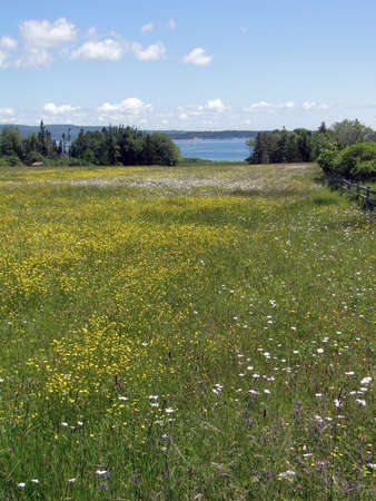 Wildflowers and meadow on Atlantic Ocean coast, on Mount Desert Island, Acadia National Park,Maine