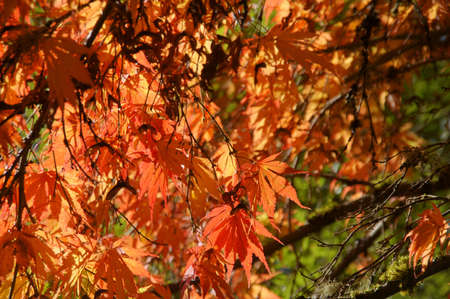 acer: Detail, red and orange maple leaves in early autumn  in the Seattle Arboretum