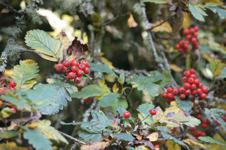 Red autumn berries on mountain ash in the Seattle Arboretum Stock Photo - 16443460