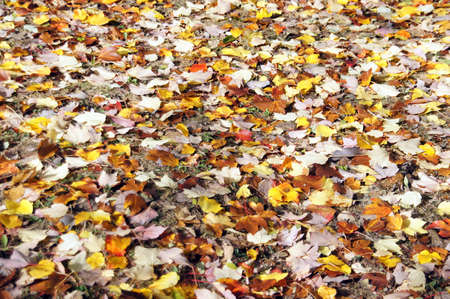 Detail, autumn leaves on the forest floor in the Seattle Arboretum Stock Photo - 16443471