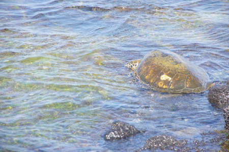 Hono, green sea turtle swimming in shallow tide pool, Kaloko Honokohau National Historical Park,  Hawaii