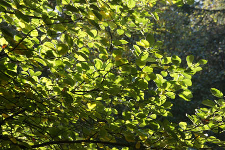 Backlit green leaves  in early autumn, in the Seattle Arboretum Stock Photo - 16472784