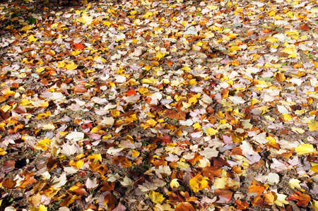 Detail, autumn leaves on the forest floor in the Seattle Arboretum Stock Photo - 16472795