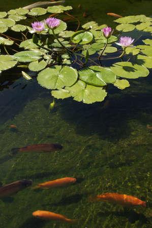 koi: Koi carp swimming in shallow pool with water lilies  in  Kona, Hawaii