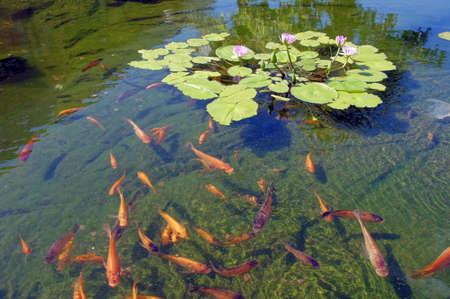 Koi carp swimming in shallow pool with water lilies  in  Kona, Hawaii   photo