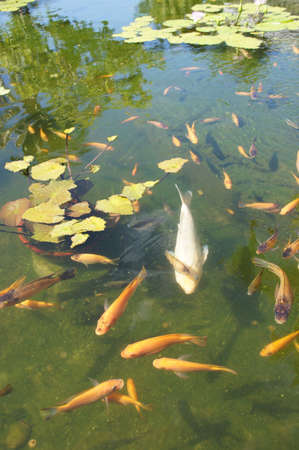 Koi carp swimming in shallow pool with water lilies  in  Kona, Hawaii   photo