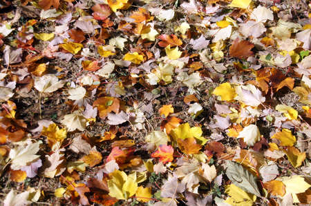 Detail, autumn leaves on the forest floor in the Seattle Arboretum Stock Photo - 16510622