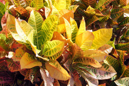Variegated patterns and colors  in coleus plants of yellow, green and red to orange, Kahaluu Bay,  Hawaii