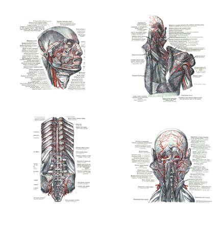 4 x bekeken van het hoofd, rug en wervelkolom, uit een atlas van de menselijke anatomie Carl Toldt - 1904