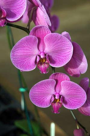 kona: Exotic purple orchids, details,  from nursery near   Kona, Hawaii