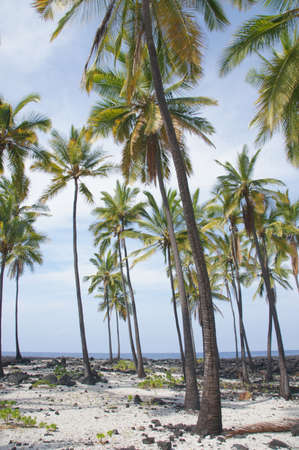 Coconut palm trees  growing on mixed sand and lava beach, Puuhonua O Honaunau Place of Refuge National Park, Hawaii
