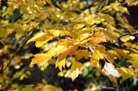 Bright yellow autumn leaves  in the Seattle Arboretum Stock Photo - 17056461