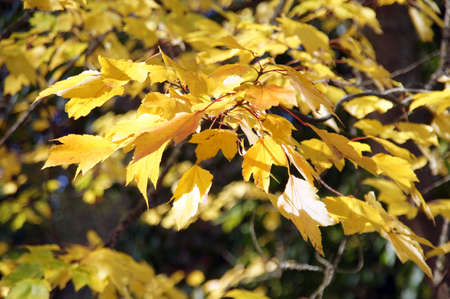 Bright yellow autumn leaves  in the Seattle Arboretum