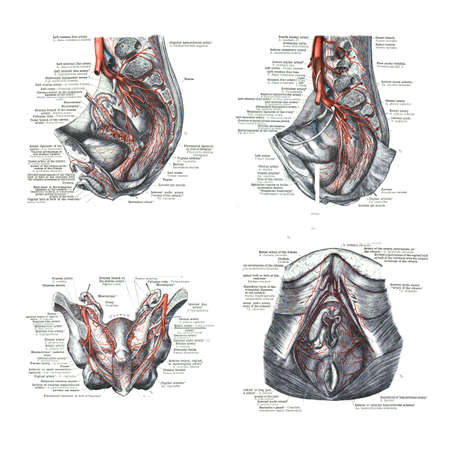 4 views of female human sexual organs  from  An atlas of human anatomy: Carl Toldt - 1904 Stock Photo - 17810988