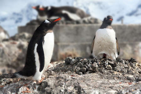 Gentoo penguin, greeting its mate on nest, [Pygoscelis papua], Almirante Brown, Antarctica