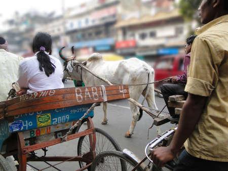 bullock animal: OLD DELHI, INDIA - NOV 3  - Rickshaws and bullock carts slow the traffic  near the Red Fort in Delhi, India.