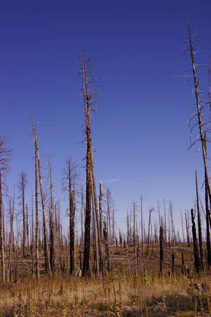 Aftermath of forest fire of 2000,  Kaibab Plateau, Arizona