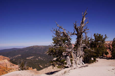 'living organism': Great Basin bristlecone pine (Pinus longaeva),  on ridge of Spectra Point. The oldest living  organism, living for  thousands of years, Cedar Breaks National Monument, Utah