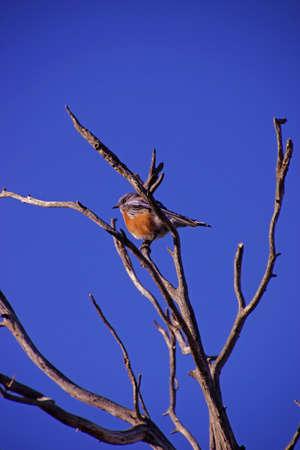 south rim: Western bluebird male ( Sialia mexicana ) early morning near the South Rim, at the Grand Canyon National Park, Arizona